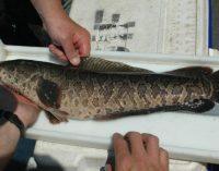"""""""Iškart užmušinėkite"""". JAV pinta gyvatgalvės žuvys iš Tolimųjų Rytų"""