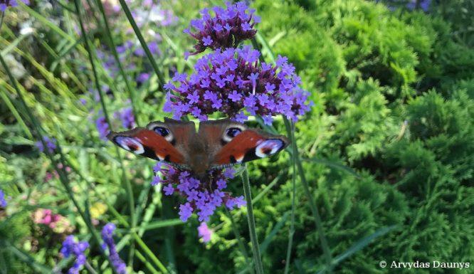 drugelis ir gėlė