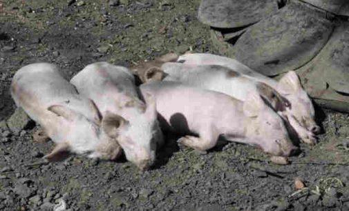 Mėsos gali nebūti: kaip afrikinis maras naikina kiaules visame pasaulyje