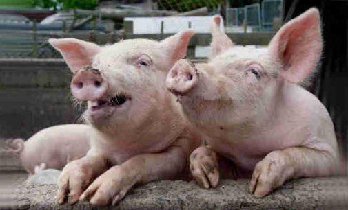 Afrikinio kiaulių maro plėtimąsi į Vakarų Europą stabdo Vokietija statydama užtvaras šernams, bet Lietuvai tas jau nebeaktualu