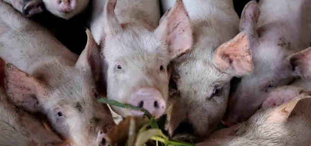 Savaitgalį sunaikinta per 8.5 tūkstančio kiaulių