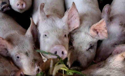 Kinijos kriminalinės grupuotės platina Afrikinį kiaulių marą, versdamos ūkininkus pigiau parduoti kiaules