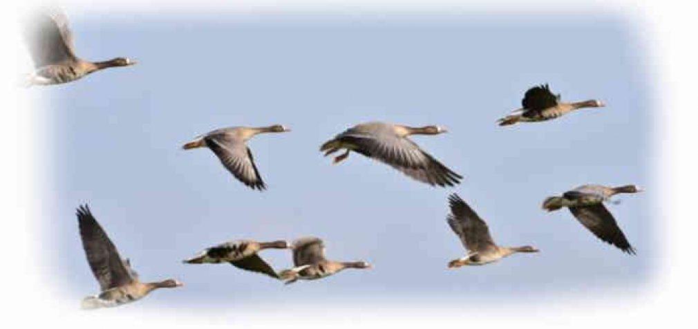 Nors paukščių gripo atvejų nenustatyta, tačiau VMVT tvirtina, kad užkrato grėsmė išlieka