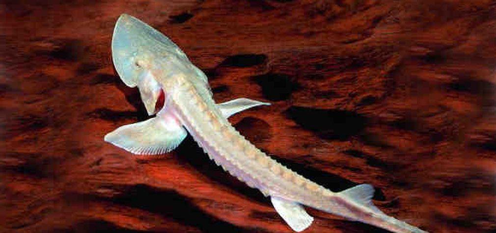 Mokslininkai paskelbė apie visišką dar vienos gėlavandenės žuvies išnykimą