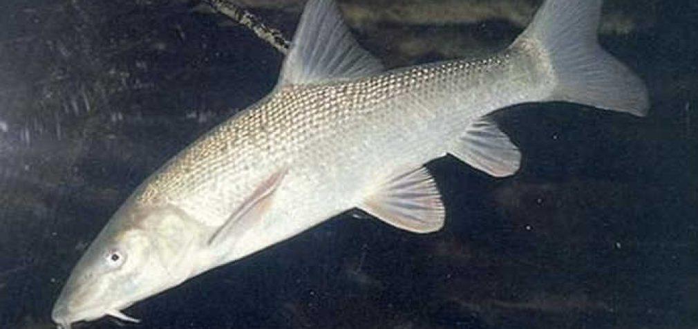 Lietuvos valstybiniuose vandens telkiniuose atkuriamos nykstančios ir retos žuvų populiacijos
