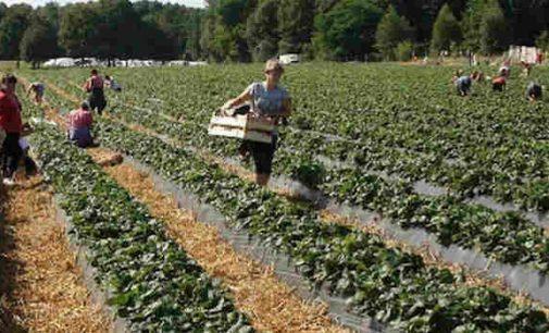 Be sezoninių darbininkų Lenkijos laukia katastrofa, nes patys lenkai laukuose dirbti jau nebenori