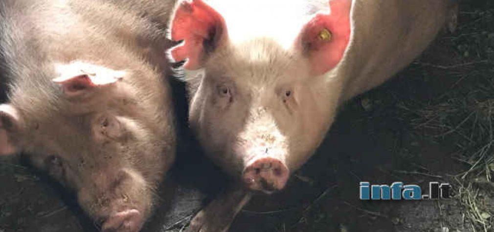 Konspirologų teorijos tampa realybe: Elonas Muskas pademonstravo čipuotą kiaulę