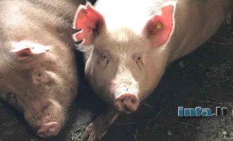 GMO kiaulių organų masinė transplantacija žmonėms prasidės netrukus