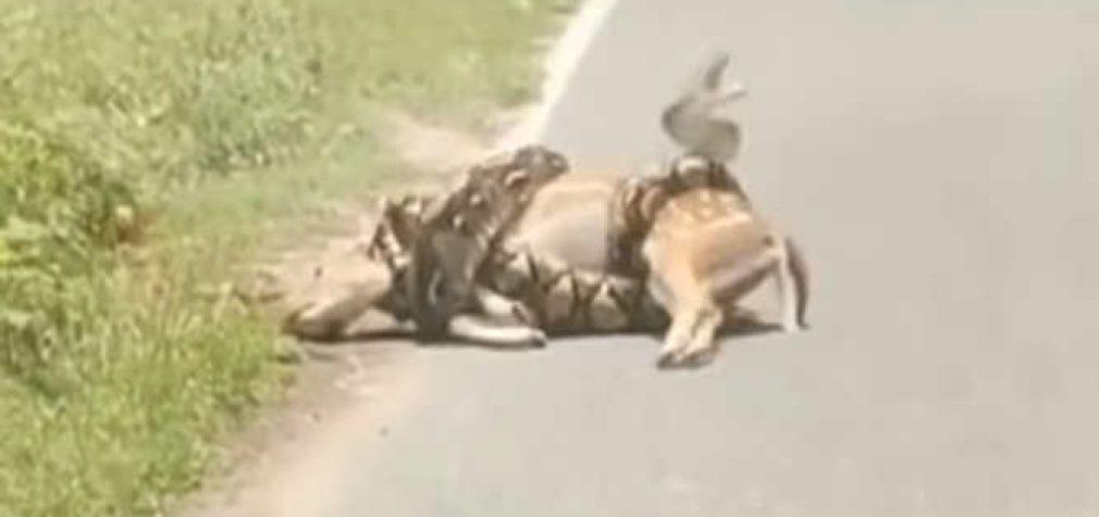 Netikėta pagalba elniui (video)