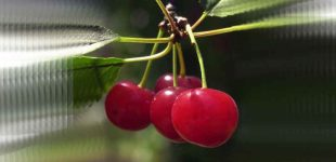 Močiutės vyšnios